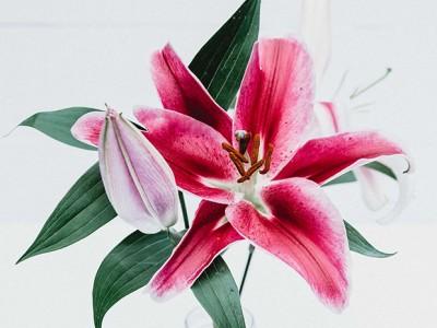 Hoa Ly Cành